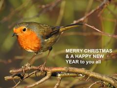 Christmas Flickr 2018 (ianpreston) Tags: 2018 robin nationaltrust ticknall derbyshire calkeabbey