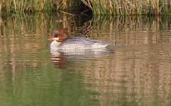Goosander (Mergus merganser) (Bathgate Wildlife) Tags: bathgate wildlife nature bird mergusmerganser leyland ponds west lothian scotland female