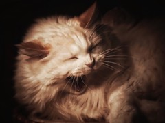 Roar (J.C. Moyer) Tags: feline color colour rustic happy happycat giggle laughingcat laughing laugh yawn roar lumix panasonicdmcgx80 art oilpainting jamestheragdoll james digitalart cute pet ragdollcat cat