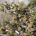 littleleaf mountain mahogany, Cercocarpus intricatus