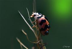 Miss Ladybird (bug eye :) Thailand) Tags: macro insect beetle animal nature thailand