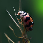 Miss Ladybird thumbnail