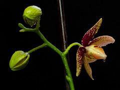 Orhideja Phalaenopsis (El_Drragon) Tags: orhideja phalaenopsis flower closup