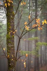 Oak, Pines and Mist, Castle Crag State Park (optimalfocusphotography) Tags: northerncalifornia oaktree usa landscape siskiyoucounty nature mist trees fog telephoto tree oak mountshasta california