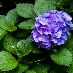 Hydrangea (Sal Tinoco) Tags: blue flora flower green hydrangea hydrangeas leaf nature outside petal purple