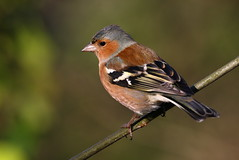Male Chaffinch at Stover Park. (ronalddavey80) Tags: wildlife chaffinch canon eos70d nature