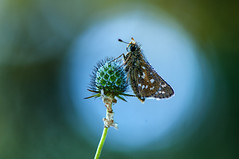 Natural light situation (♥ ⊱ ╮Juergen ╭ ⊰ ♥) Tags: untouched nature light flares dewdrops plant skipper butterfly outdoor inthemorning