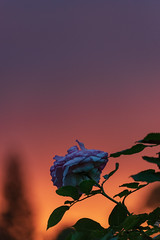 (NathalieSt) Tags: europe exmes france normandie bassenormandie campagne countryside nature nikon nikond750 nikonpassion nikonphotography normandy orne rose pink flower fleur sunset coucherdesoleil