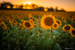 Sunflowers (tony.liu.photography) Tags: sunflowers flowers landscape 50mm nature sun sunset queensland australia canon 5d4 sigma art