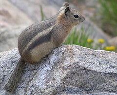 Ground Squirrel (1)   Rocky Mountain NP    ---   Colorado, USA (benBert47) Tags: groundsquirrel earthmarvels50earthfaves