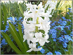 White Hyacinth .. (** Janets Photos **) Tags: uk hull citycentres publicparks hyacinth flowers nature flora plants flowersadminfave
