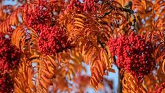 Autumn colours in York, 2018 - 14 (nican45) Tags: 15november2018 15112018 18135 18135mm 2018 csc fuji fujifilm november xt2 xf18135mmf3556rlmoiswr york yorkshire autumn berries berry colours elderberry fall garden home mirrorless tree