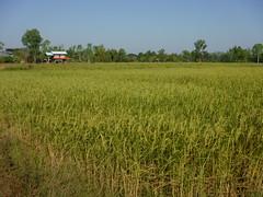 Ripening Rice in Jom Nang Nuea 1 (SierraSunrise) Tags: thailand phonphisai nongkhai isaan esarn rice paddy riceparry paddyrice ricepaddies farming agriculture
