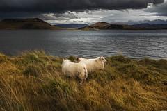 White like a sheep (Sizun Eye) Tags: sheep wild nature iceland myvatn cloudscape landscape travel sizuneye nikond750 tamron2470mmf28