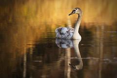 Young Swan (Stefan Zwi.) Tags: schwan wasser herbst autumn fall swan water lake pond teich see golden light licht ngc npc greatestphotographers