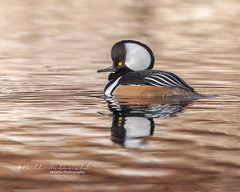 """""""On Golden Pond"""" (Bill McDonald 2016) Tags: hooded merganser hoodie water duck golden pond morning swimming fall autumn 2018 november billmcdonald wwwtekfxca reflection"""