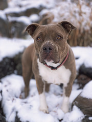 Molly (Cruzin Canines Photography) Tags: animal animals canine apple iphonexsmax dog dogs domestic domesticanimal mammal pet pets pitbull pit pitbullterrier americanpitbullterrier molly cute pretty outdoors outside nature naturallight snow winter portrait