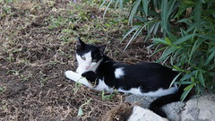 2015-09-19_18-16-50_ILCE-6000_DSC09307 (Miguel Discart (Photos Vrac)) Tags: 2015 88mm animal animalphotography animals animalsupclose animaux cat cats chat chats colakli e18200mmf3563ossle focallength88mm focallengthin35mmformat88mm highiso holiday hotel ilce6000 iso2000 kamelya kamelyaworld nature naturephotography pet sony sonyilce6000 sonyilce6000e18200mmf3563ossle summer turkey turquie vacance vacation