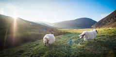 Pentland Sheep (B Hutchison) Tags: xt1 samyang 12mm pentlands pentland hills scotland edinburgh mountains colour grass sheep running wool sun flare scenery sky blue