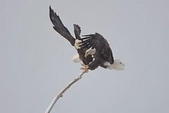 Bald eagles (Haliaeetus leucocephalus) in snowstorm 2 (rangerbatt) Tags: baldeagle haliaeetusleucocephalus eagle d7500 sigma150600mmsports utahwildlife bird wildutah baldeagleinflight eagleinflight bif birdinflight greatsaltlakewetlands explore