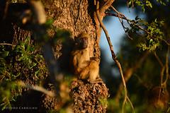 Kruger National Park, South Africa / África do Sul, 2018 (Pedro Carrilho) Tags: kruger krugernationalpark nationalpark africa southafrica africadosul wild wildlife animals landscape travel nature safari gamedrive