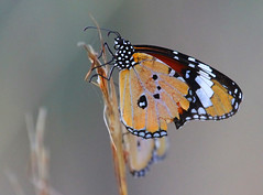 African Monarchs (Wild Chroma) Tags: danaus chrysippus danauschrysippus butterfly monarch insects madagascar isalo