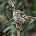 Red-backed Scrub-Robin - Nairobi NP - Kenya CD5A9558