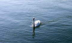 Vacances_0800 (Joanbrebo) Tags: bodensee llac lago lake lac konstanz badenwürttemberg de deutschland ocells pájaros birds canoneos80d eosd efs1855mmf3556isstm autofocus animals animales