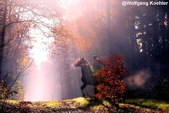 Horse rider on a misty day in fall (elbigote1946) Tags: pferd horse fall fog misty herbstlich autumn