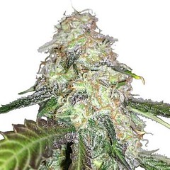 lsd-seeds-fem_large (Watcher1999) Tags: lsd feminized cannabis seeds marijuana thc weed cbd strains medical drops oil growing strain plant smoking weeds legalize it ganja