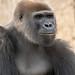Frank the Tank (ToddLahman) Tags: frank frankthetank westernlowlandgorilla gorilla beautiful outdoors male mammal sandiegozoosafaripark safaripark nikond500 nikonphotography nikon portrait photooftheday photography photographer animal