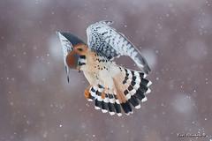 Whoa Nellie..what goeth below (Earl Reinink) Tags: wings winter snow bird animal raptor falcon kestrel americankestrel earlreinink outdoors nature wildlife cold