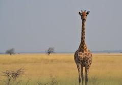Lady giraffe (yanoche) Tags: namibia etosha nationalpark wildlife animal nature wild spotting oversight
