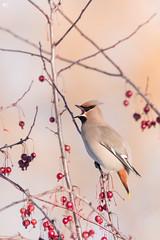 ''Le jaseur!'' Jaseru boréal-Boehemian waxwing (pascaleforest) Tags: oiseau bird animal passion nikon nature wild wildlife faune québec canada light fruit lumière automne