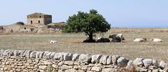 al pascolo (maxlancio) Tags: sicilia sicily italia italy mucca muro muretto secco marina ragusa casale diroccato albero pascolo mucche