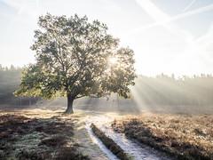 Bussumerheide 2018: Epic (mdiepraam) Tags: bussumerheide 2018 bussum westerheide heath earlymorning dawn sunrise tree branch backlight