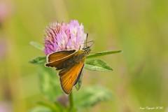 Feeding Skipper. (nondesigner59) Tags: skipper butterfly clover flora fauna nature closeup feeding archives wildlife copyrightmmee eos7dmkii nondesigner nd59