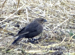 Dec13,2018 DSC01574 Brown-headed Cowbird (terrygray) Tags: blackbirds cowbird