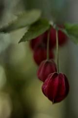 (Eugenio Albertus) Tags: abutilon flores garden bokeh light flowers nature macro jardín megapotamicum brasil