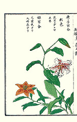 Showy Japanese lily and morning-star lily (Japanese Flower and Bird Art) Tags: flower showy lily lilium speciosum liliaceae morningstar concolor kiyoshi takizawa nihonga woodblock picture book japan japanese art readercollection