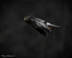 2I1A9835a (lfalterbauer) Tags: northernharrier grayghost canon 7dmarkii wildlife nature ornithology avian raptor prey flight dslr digital