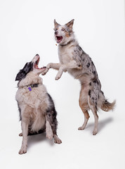 Say AAAAAAH (Chris Willis 10) Tags: will biscuits dogs star studio dog pets animal domesticanimals studioshot purebreddog mammal canine cute friendship whitebackground cutout younganimal puppy small fulllength looking obedience twoanimals