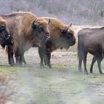 Wisente, europäische Bisons, auf Wiese im Wisentprojekt in Kraansvlak bei Zandvoort, Niederlande thumbnail