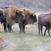 Wisente, europäische Bisons, auf Wiese im Wisentprojekt in Kraansvlak bei Zandvoort, Niederlande