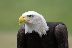 IMG_1460 (Stefan Kusinski) Tags: hemsley duncombe ncbp birdofprey