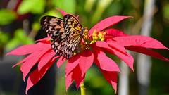 Rice Paper Butterfly (Idea leuconoe) (Pablo L Ruiz) Tags: butterflyworld butterflies tamron18400mf3563