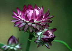 Strawflower ..... Xerochrysum Bracteatum (Hannah 0013) Tags: australiandaisy canon macro flower pink floralfantasy doublefantasy 12 8