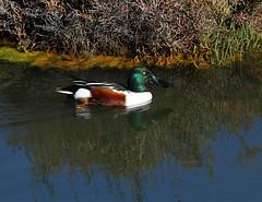 Northern Shoverler - male (Wild Chroma) Tags: anas clypeata anasclypeata duck birds nonpasserines ludo riaformosa portugal