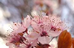 B Blossom for MacroMondays HMM (7 Blue Nights) Tags: blossom macromondays thefirstletterofmysurname surname flower flowers pink spring hmm macromonday monday soft delicate macro thoughherlens