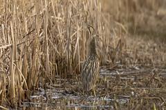 Bittern (cazalegg) Tags: bittern leighton moss pond reeds bird nikon nature wildlife camouflage